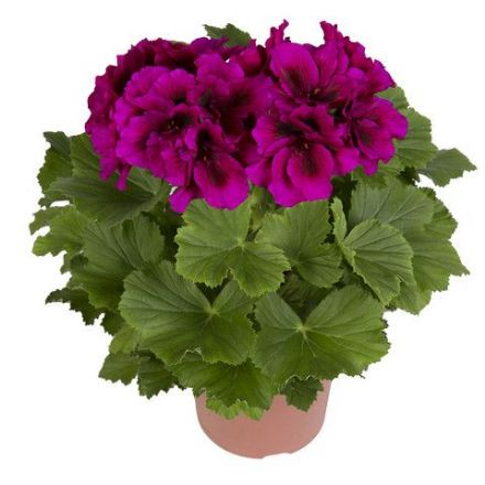 Geranium Regal Burghi